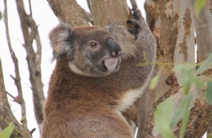 Northern Rivers Koala Project wins 2014 Green Globe